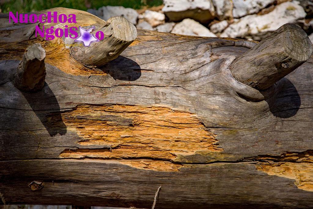 Loại dầu thu được từ gỗ tuyết tùng là một trong những nguyên liệu cổ xưa nhất sử dụng sản xuất nước hoa