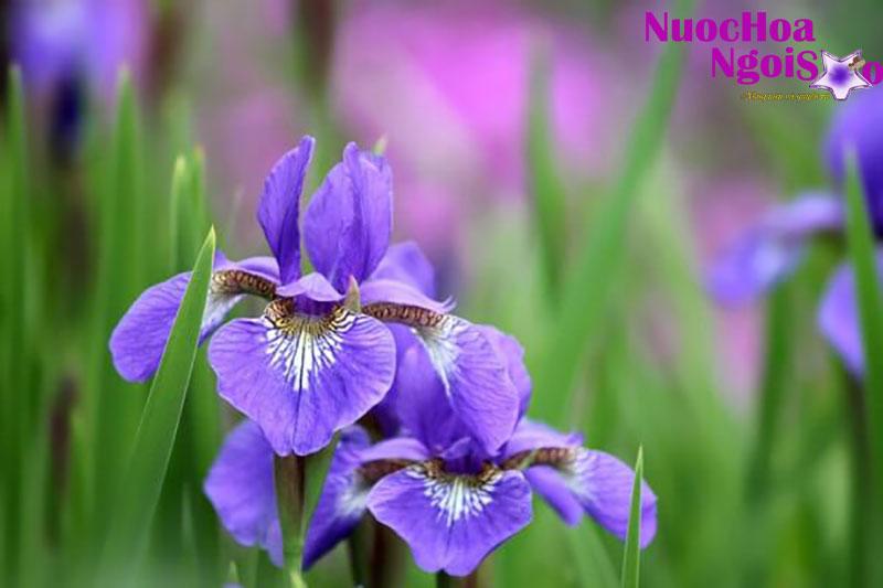 Hương diên vĩ là sự tổng hợp của nhiều mùi hương.