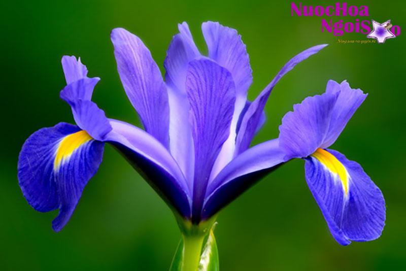 Diên vĩ có hương thơm thuần khiết.
