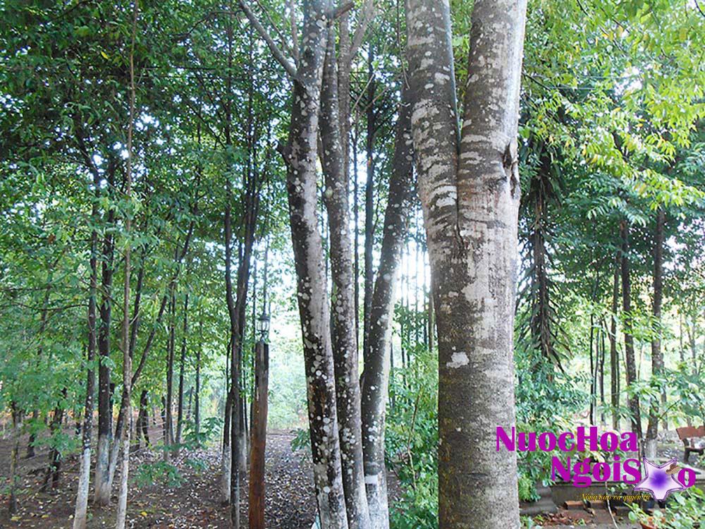 Rừng gỗ đàn hương.