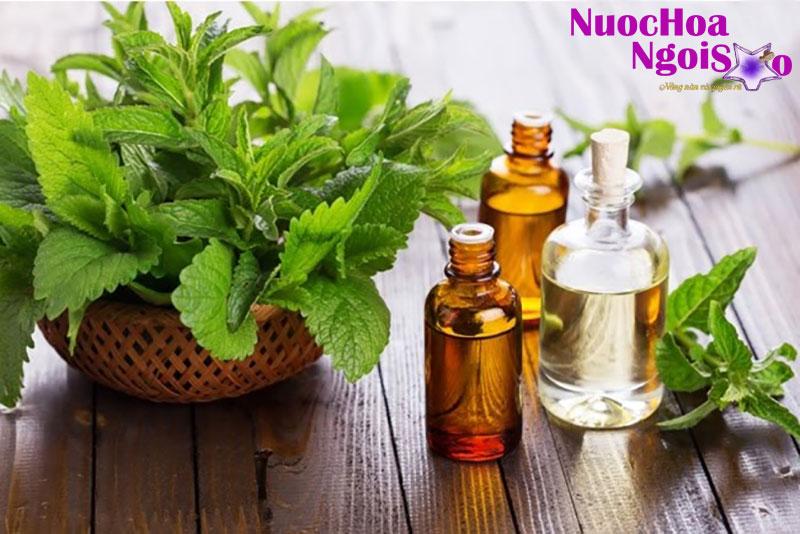 Lá cây hoắc hương được dùng để chiết xuất tinh dầu
