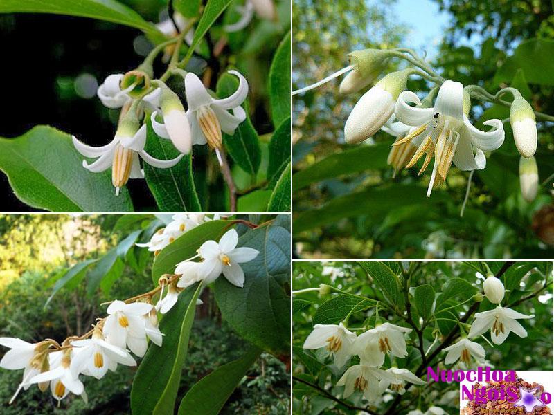 Hoa của cây cánh kiến trắng.