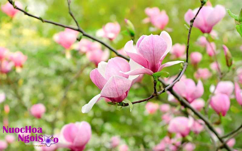 Mộc lan có hương thơm dịu ngọt thanh khiết.