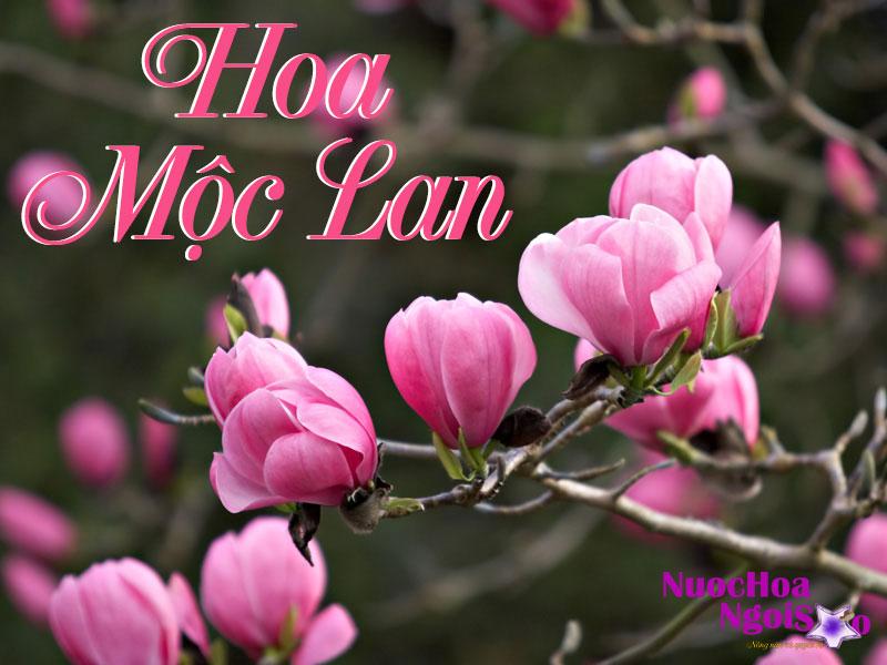Hương thơm ngọt ngào quyến rũ của hoa mộc lan