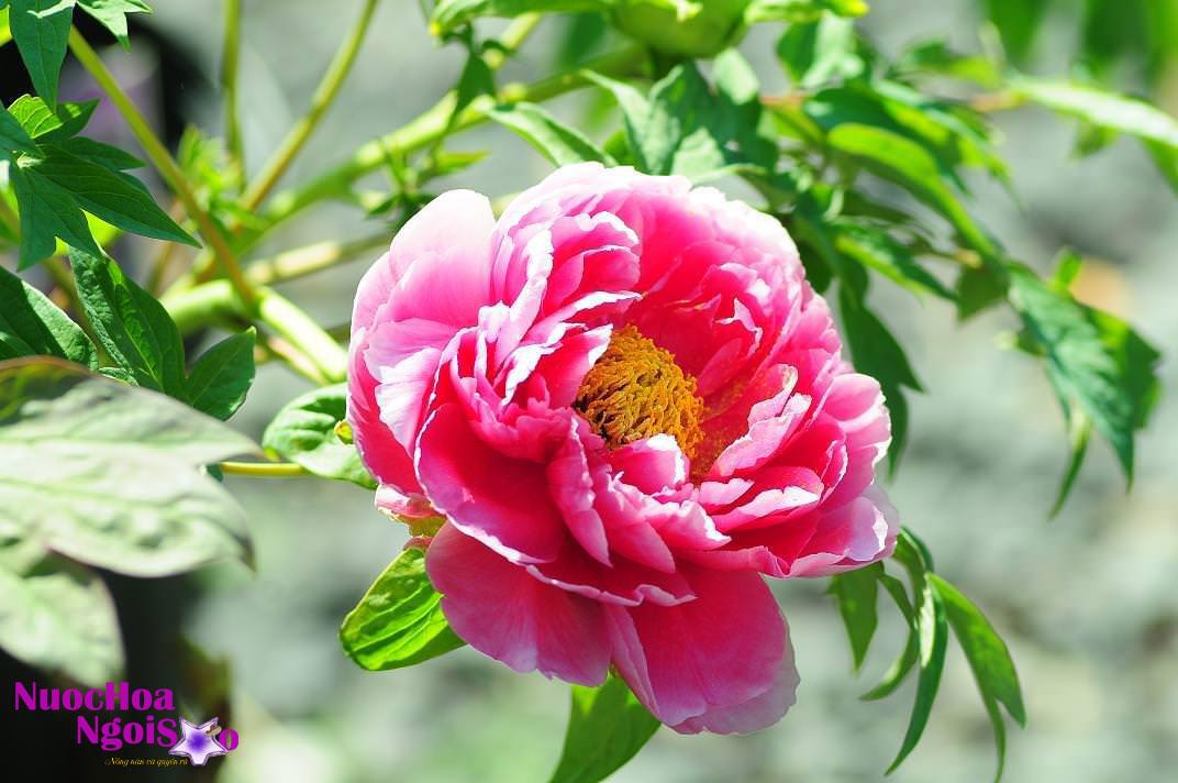 Hoa mẫu đơn là loài hoa xinh đẹp, sang trọng, quyến rũ