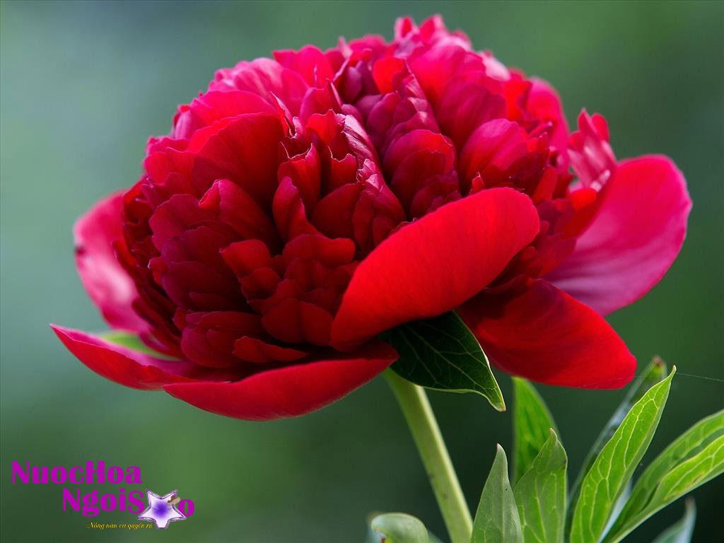 Loài hoa này được dùng để sản xuất nước hoa.