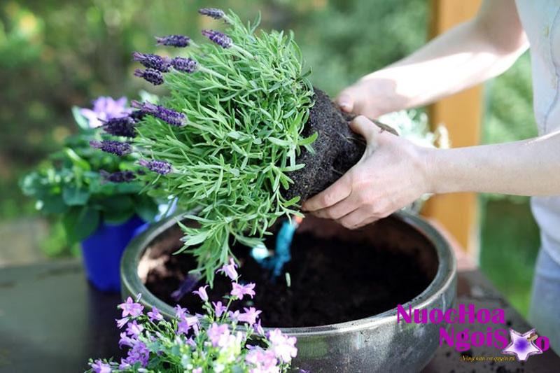 Tinh dầu oải hương được chiết xuất chủ yếu từ hoa và cuống hoa của cây oải hương