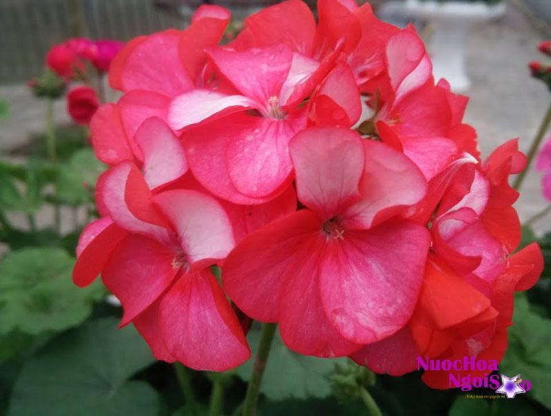 Loại phong lữ phổ biến và được ưa chuộng nhất dùng để chiết xuất nước hoa thường là hoa màu hồng hoặc đỏ