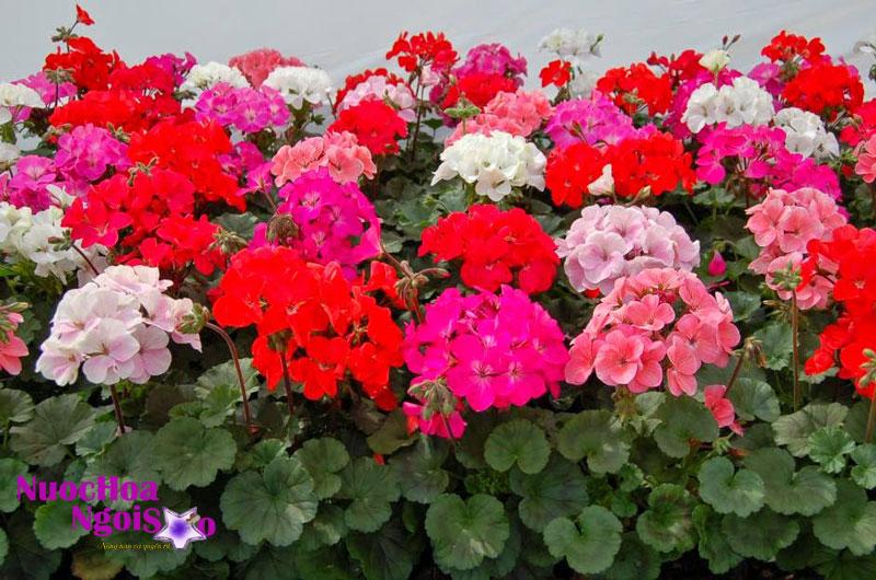 Hoa của cây phong lữ có nhiều màu sắc khác nhau