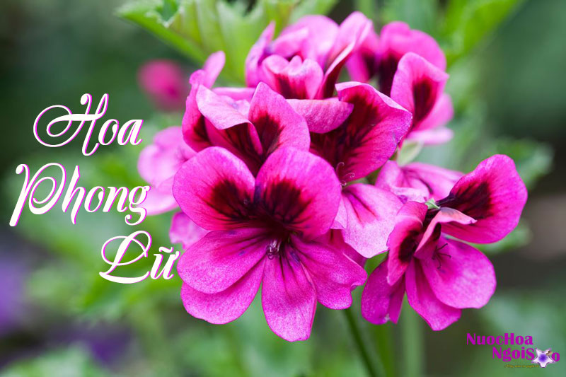 Hoa phong lữ - Thiên thần nước hoa