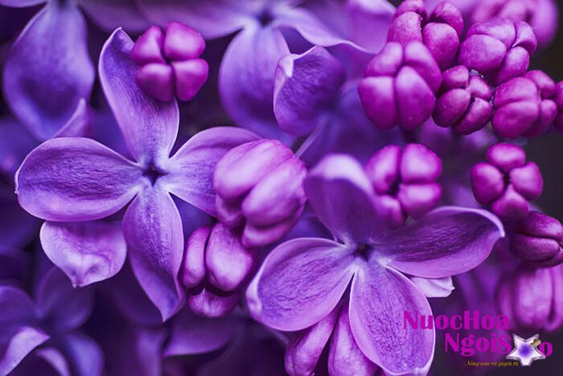 Nụ tử đinh hương có vị cay ngọt, tính nóng, có hương thơm có tác dụng sát trùng, làm ấm bụng, lợi trung tiện
