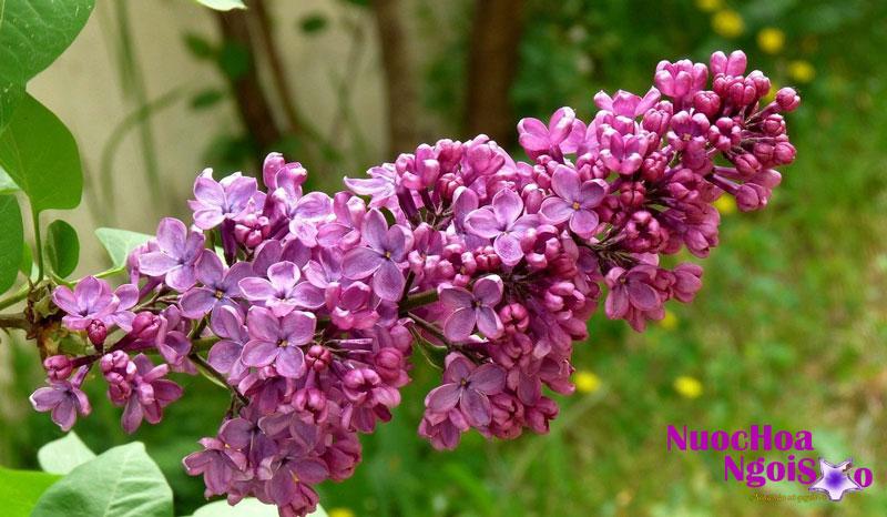 Hoa tử đinh hương kết thành chùm cực kỳ sai hoa với nhiều sắc độ từ tím hồng, tím tía, tím đậm hoặc trắng nở thành chùm vào mùa xuân và đầu hè