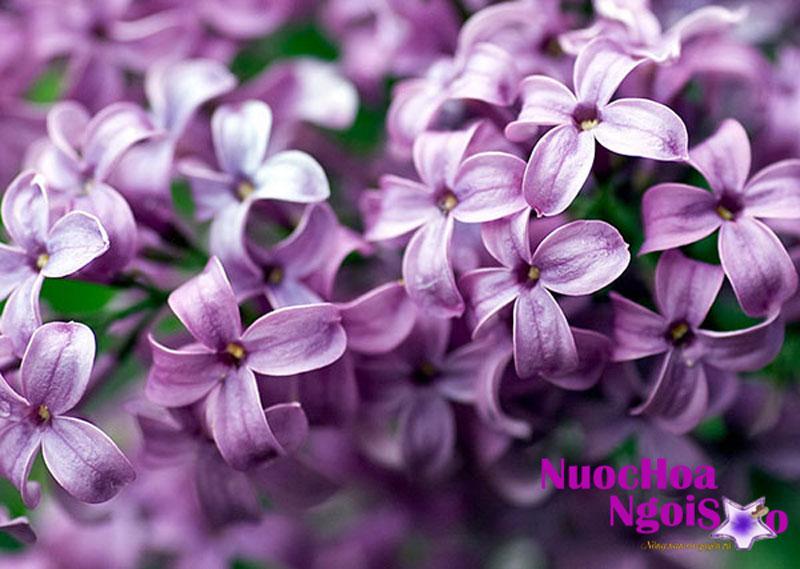 Hoa đinh hương có mùi rất thơm
