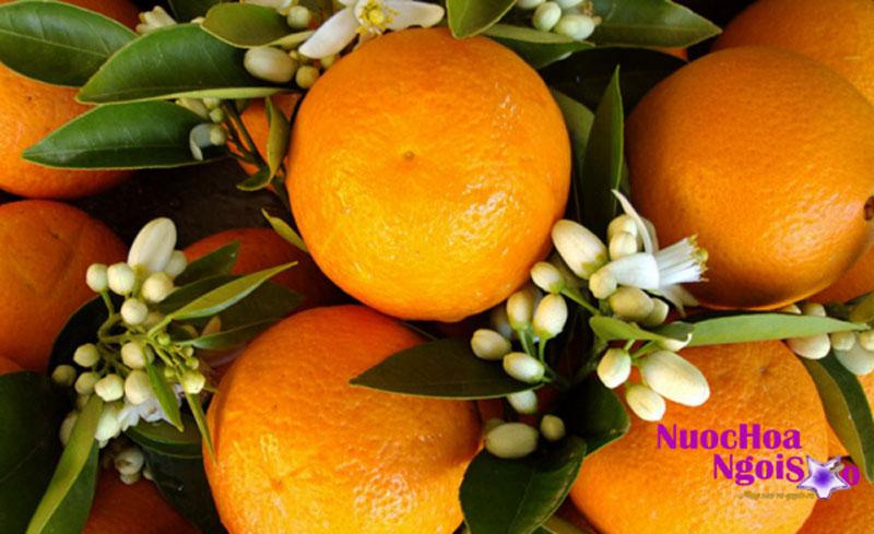 Dùng hoa của cam đắng để chưng cất tinh dầu hoa cam