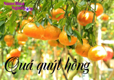 Quả quýt hồng Madrin orange và hương nước hoa quýt hồng